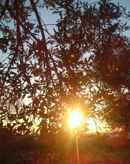 Nature Olive Oil Tree Sunset Traditions