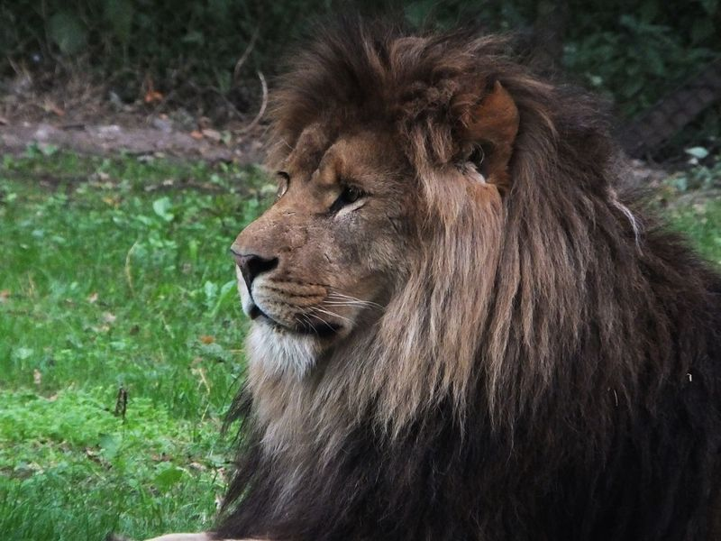 One Animal Animals In The Wild Animal Themes Lion Captive Animals Relaxation Mammal No People Plant Animal Wildlife Safari Animals Zoo Photography  Safaripark ZooLife Zoo Photography  Lion - Feline Outdoors Day Nature Close-up