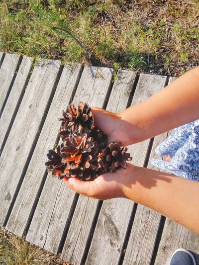 Pinecones in the hands of the child Holding Personal Perspective Directly Above Handful Pinecones Child Hands Human Hand Close-up