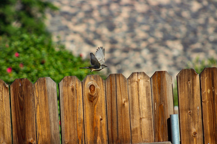 Bird taking off from fence