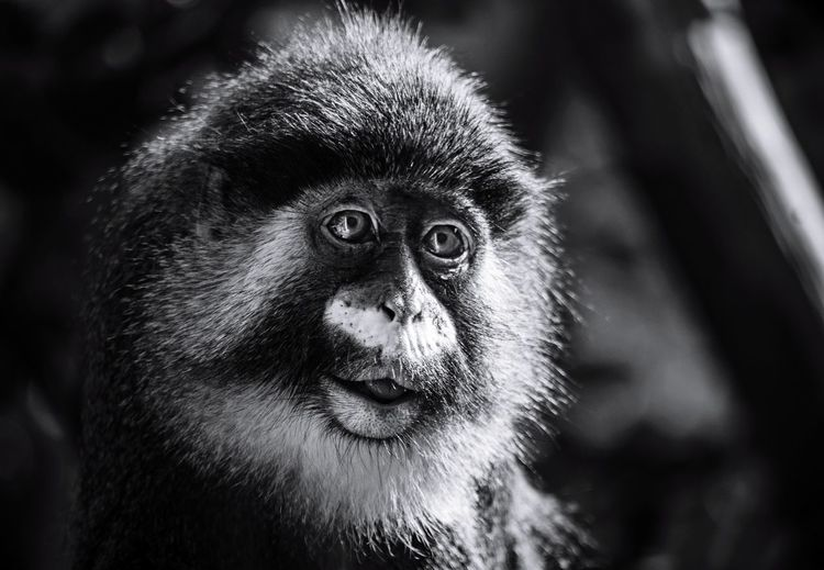 Ape Primate One Animal Animal Animal Wildlife Animal Head  Portrait Monkey Close-up Outdoors Nature Eye4photography  Taking Photos Beauty Animals In The Wild
