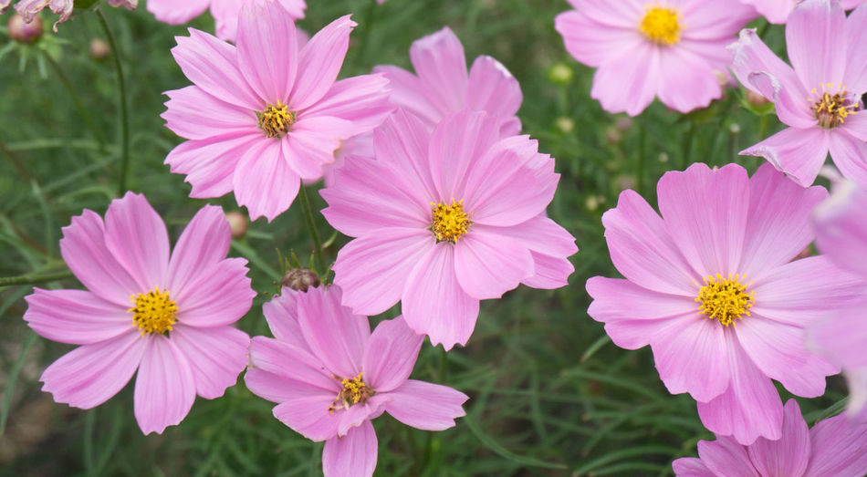 Flowering Plant Flower Fragility Vulnerability  Freshness Petal Plant Beauty In Nature Inflorescence Flower Head Close-up Growth Pink Color Focus On Foreground No People Day Pollen Nature Outdoors High Angle View Osteospermum