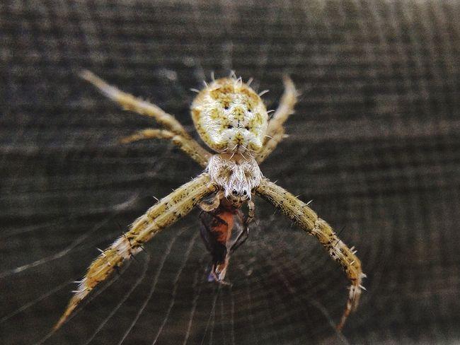 small predator Small Predator Spider Spider Animals Animal Wild Photography Wallpaper Beatifull Eat EyeEm Best Shots Photooftheday EyeEm Gallery Macroshot Macro ByAM