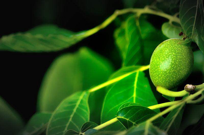 walnut Beauty