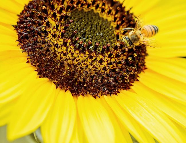 Bee on sunflower Bee Bee On The Flower Polination Pollen Pollination In Action Insect Sunflower Honey Bee Processed Meat Close-up Nature Yellow Flower Flowers,Plants & Garden Sunflowers🌻 Plant Garden Beauty In Nature Garden Flowers Summer Sunflowers Flowerporn Flower Head Flower Black-eyed Susan Yellow Sunflower Petal Pollen Uncultivated Macro Rural Scene Sunflower Seed Seed Protein Bar Plant Pod Blossom Botany Blooming Stamen In Bloom