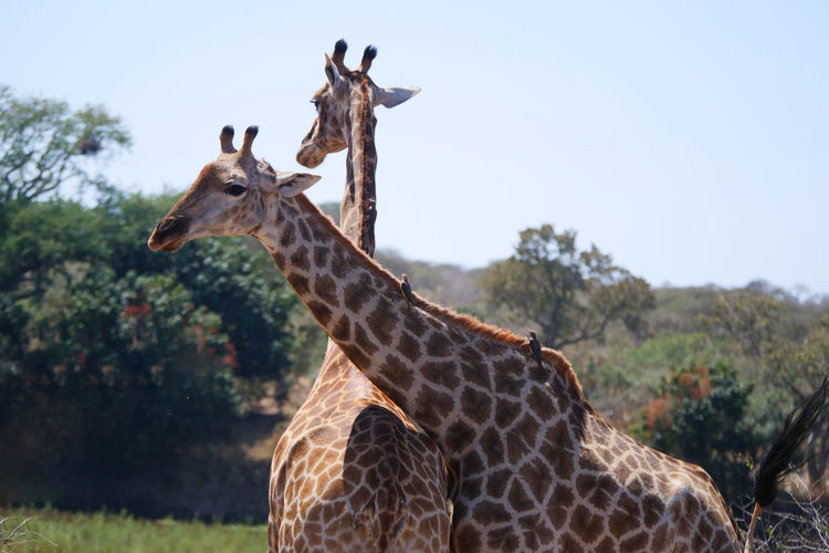 Close-up of giraffes against sky