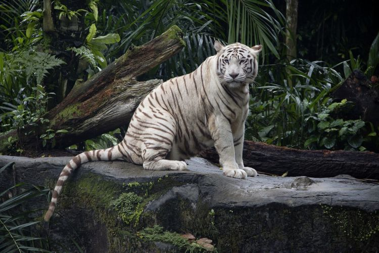, Sunderbans Region, Beautiful Nature Bengal Tiger, Madhya Pradesh, State Of Rewa, Weird West Bengal White Tiger Wild, Wonderful, West Virginia Almost Pure White, Bleached Tiger India, Majestic Majestic Creature Mammal Pigmentation Variant, Rare, Nature Spectacle Reccessive Gene, Stripelessness, Tiger White Color White Fur,