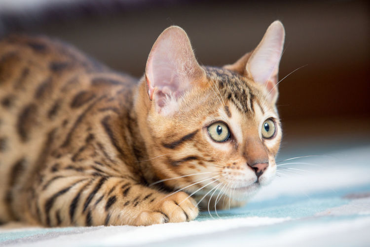 Animal Themes Bengal Bengal Cat Bengals Cat Close-up Cute Day Domestic Animals Domestic Cat Feline Indoors  Kitten Mammal No People One Animal Pets Spots Stripes Pattern Tiger Yawning You