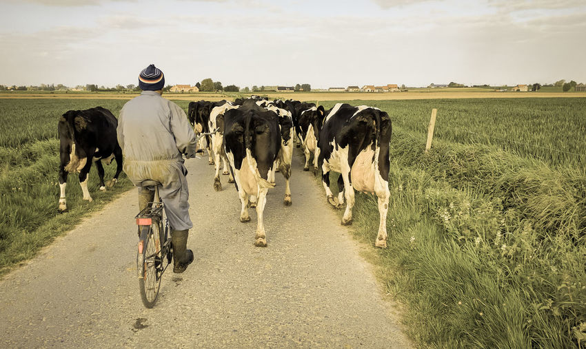 Cows Farmer Roadscenes Cycling Belcantour Outdoors Milk Cow On The Road