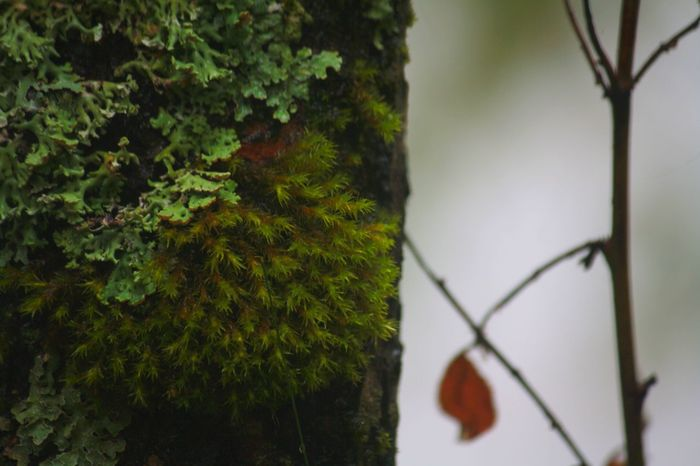 Bark Bosco Beauty In Nature Botany Branch Close-up Creeper Creeper Plant Focus On Foreground Forest Green Color Leaf Mist Moss Moss And Lichen Natura Nature Nature Nature_collection Outdoors Plant Plant Life Selective Focus Tree Trunk Chamonix-Mont-Blanc