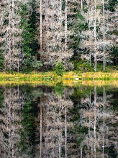 Pine trees by lake in forest
