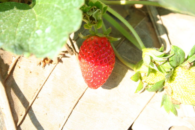 Strawberry Close-up Day Elevated View Focus On Foreground Food Freshness Green Green Color Growth Leaf Nature No People Organic Plant Red Ripe Selective Focus Strawberry Strawberry Cherry Red