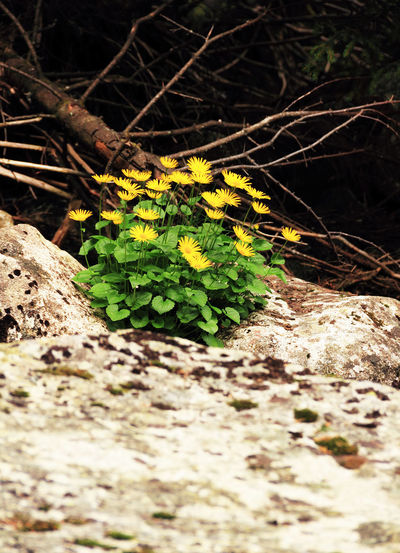 Flower Forest Green Macro Mountain Nature Photography Photos Retezat Romania Stone Water