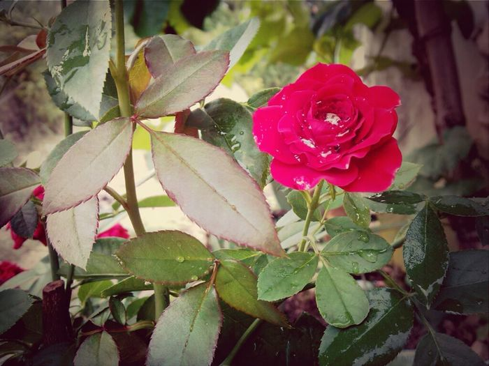 It's Naturally Red Flower :3 Naturally Natural :3