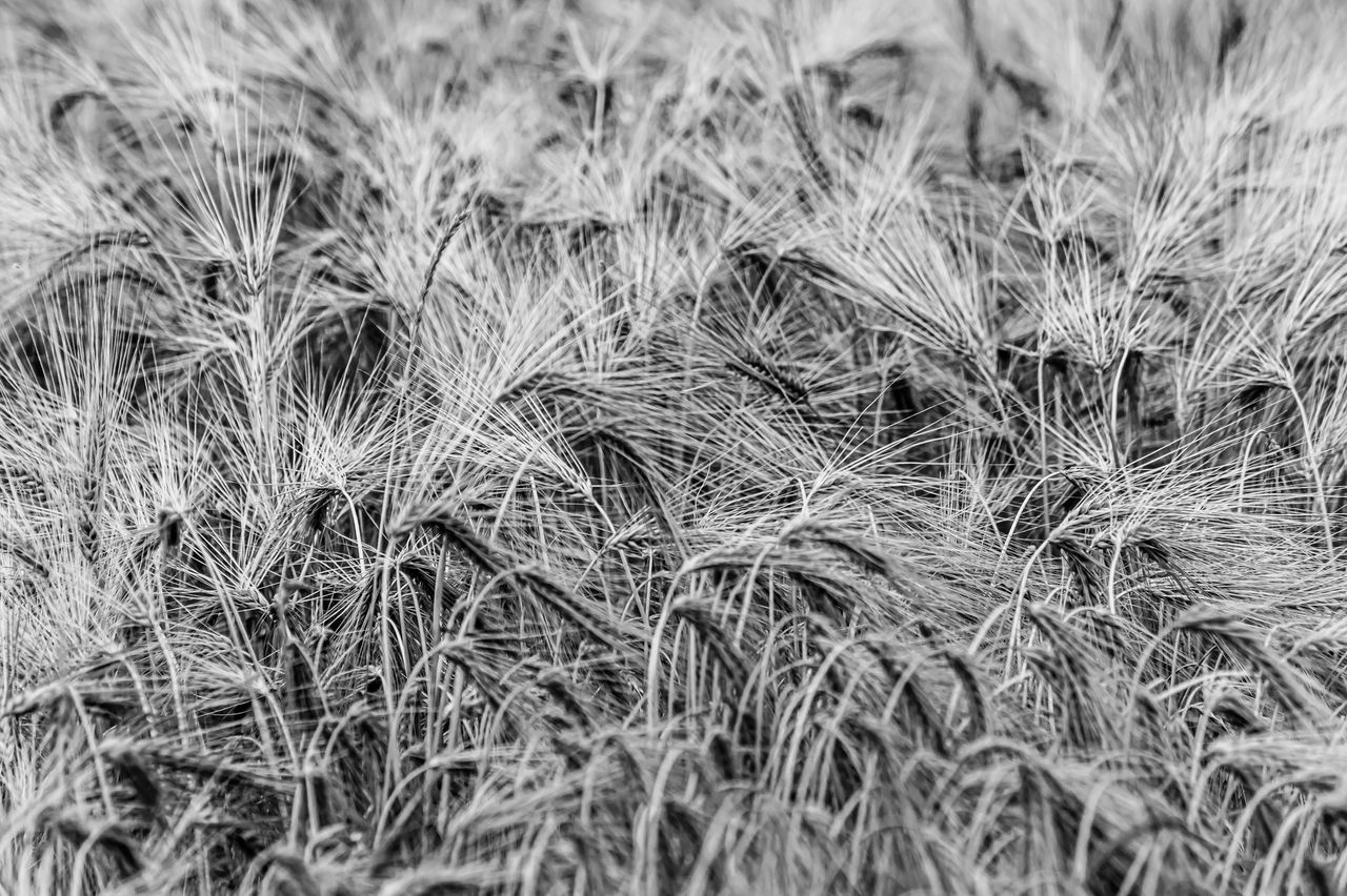 plant, full frame, growth, backgrounds, close-up, no people, land, nature, field, beauty in nature, selective focus, day, agriculture, tranquility, crop, grass, outdoors, freshness, focus on foreground, farm, stalk