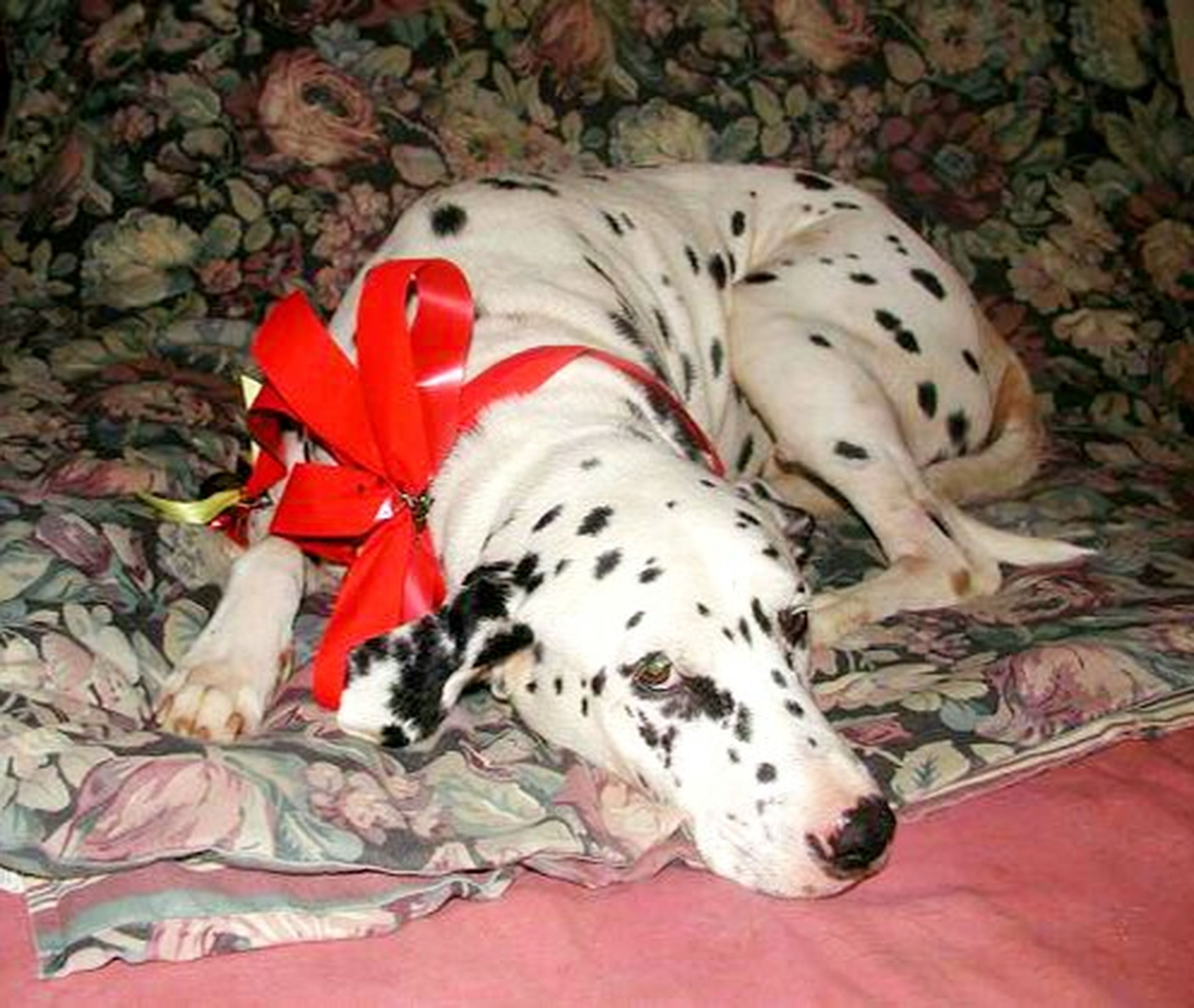 mammal, animal themes, pets, one animal, animal, domestic animals, domestic, lying down, dog, canine, dalmatian dog, sleeping, indoors, spotted, relaxation, red, no people, high angle view, full length, pattern, floral pattern, purebred dog