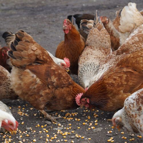 Chickens Eating Corn On Field
