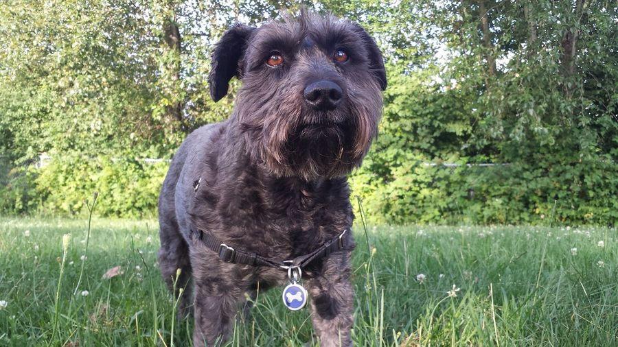My favorite subject Dogs Of EyeEm Minischnauzer Nofilter Dog Love