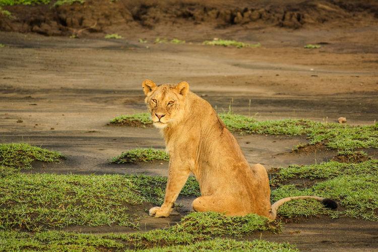 Lioness on ground