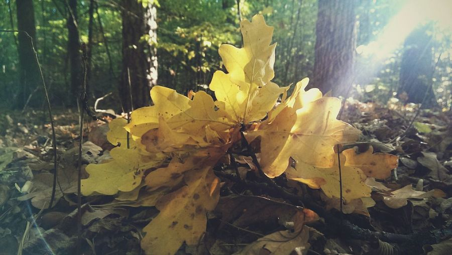 Oaklet Forest Leaves Oaklet Autumn Nature Ukraine