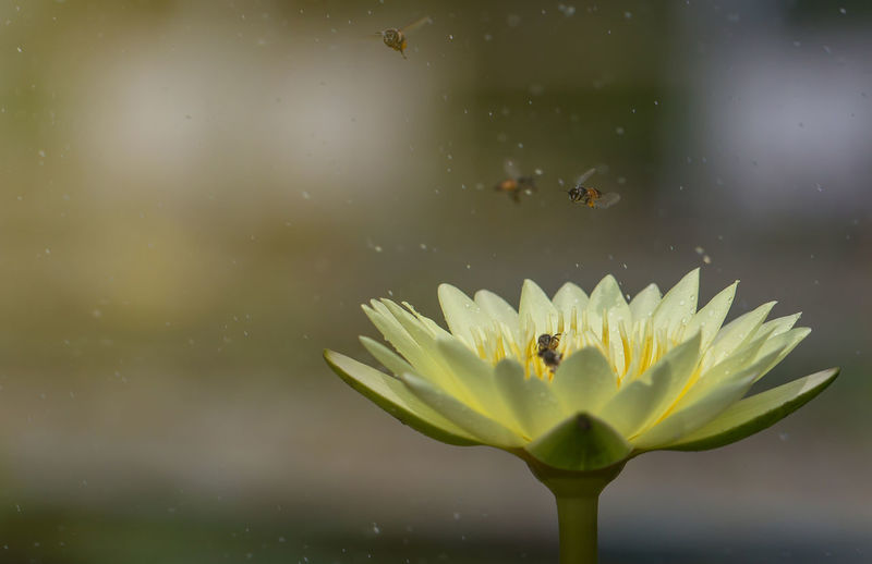 Bee are flying atrocities lotus flower. Green Pond Yellow Flower Animal Animals In The Wild Close-up Floating On Water Flower Flower Head Insect Lotus Nature Outdoors Plant Summer Water Yellow