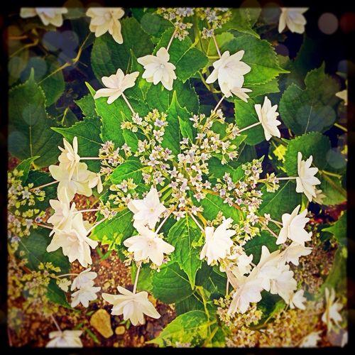 Flowers 紫陽花