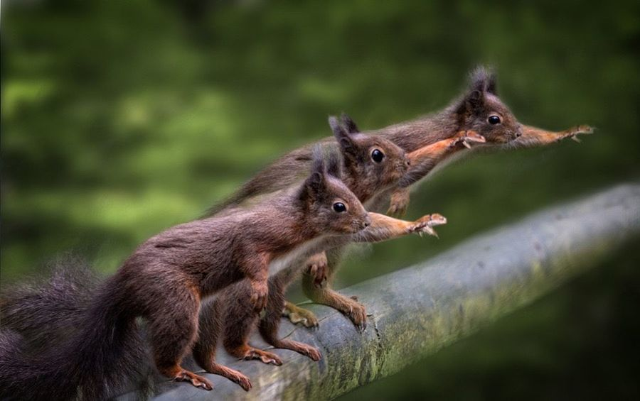 Hail the king,red,squirrels, Squirrel Rodent British,wildlife