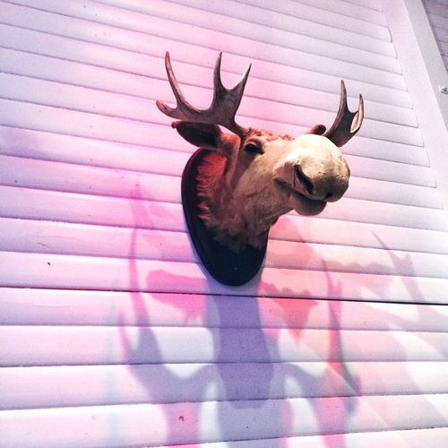 Low angle view of dead moose head mounted on wall
