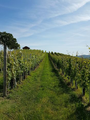 Agriculture Crop  Field Rural Scene Growth Farm Tree Green Color Nature Freshness Beauty In Nature No People Day Landscape Outdoors Sky Scenics Travel Destinations Langhe Piedmont Italy Nebbiolovineyards Vineyards  Vine - Plant