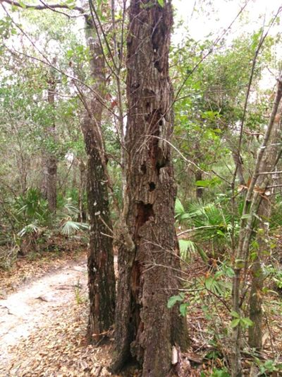 """Just a friendly tree in the woods on a bike/hiking trail, saying """"Hey everyone, thanks for visiting."""" 🙋 Tree Nature Forest No People Beauty In Nature Floridatrail Florida Trees Hiking Trail Bike Trail Faces In Nature Tree Face Well Hello There Tree Good Day To All Of You... Outdoors Tree Life Funny Trees Faces In TreeFlorida Nature Silly Face Life Of A Tree Tree Trunk The Things You Find In The Woods New Smyrna Florida The Great Outdoors - 2017 EyeEm Awards The Great Outdoors - 2017 EyeEm Awards The Street Photographer - 2017 EyeEm Awards Perspectives On Nature"""