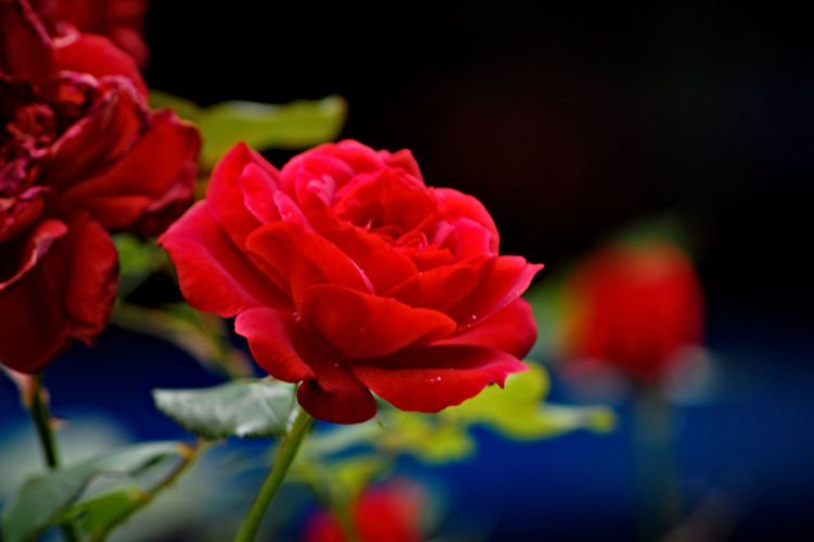 Red Flower Petal Red Rose - Flower Flower Head Nature Beauty In Nature Fragility Fashion Show Peony  Close-up No People Freshness Beauty Plant Multi Colored Day Outdoors
