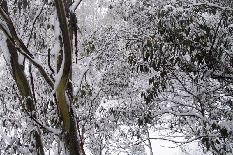 Alps Australia Aussie Alps Australian Alps Bush Snow Country Snow Overnight Snow Settled Snow Snowy Trees