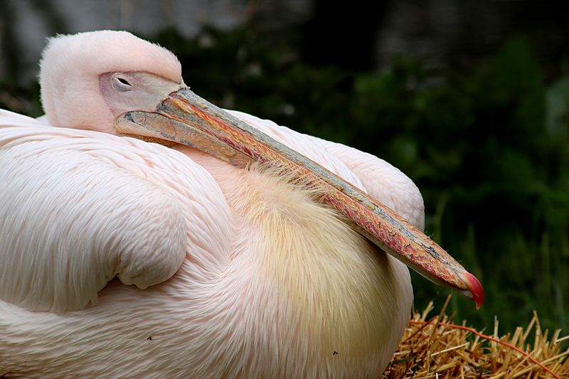 Pelican Focus