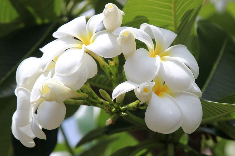 frangipani flower at full bloom Beauty In Nature Blooming Body Care Close-up Day Exotic Fiji Flower Flower Head Fragility Frangipani Freshness Growth Natural Beauty Nature No People Outdoors Pacific Petal Plant South Pacific Tropical Paradise White Color
