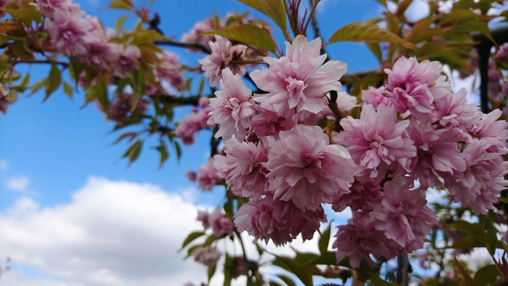 Flower Nature Beauty In Nature Fragility Pink Color Growth Blossom Freshness Tree Outdoors Springtime Day No People Branch Plant Petal Close-up Flower Head Sky May Magiczne Ogrody