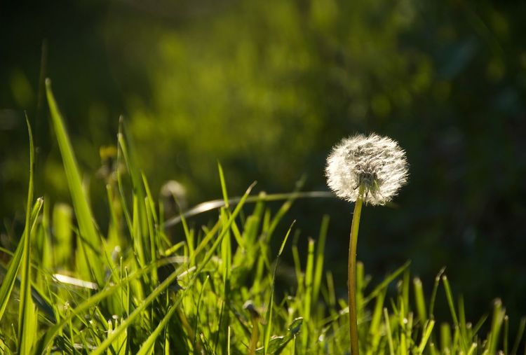 Wild Grass Wild Dandelion Flower Head Flower Thistle Field Uncultivated Meadow Close-up Grass Plant Green Color Wildflower The Minimalist - 2019 EyeEm Awards