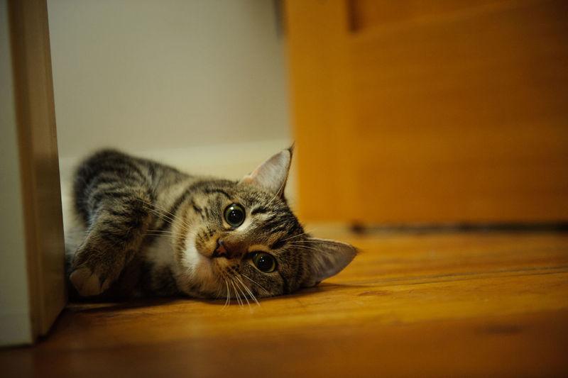 Animal Themes Cat Domestic Animals Feline Indoors  No People One Animal Pet Pets Tabby Tabby Cat