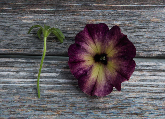 10 Beauty In Nature Close-up Directly Above Flower Flower Head Flowering Plant Fragility Freshness High Angle View Inflorescence Nature Number Pattern Petal Petunia Plant Table Ten Vulnerability  Wood - Material