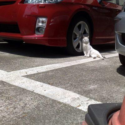 Stray Cat Cat Relaxing Car