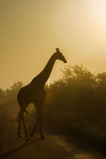 Giraffe on road against sky during sunset