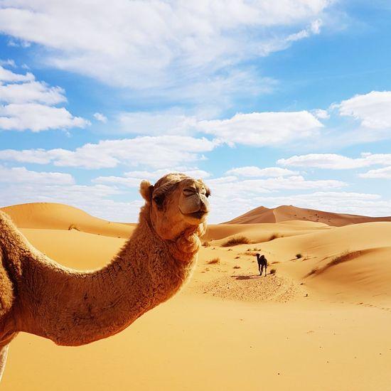Camel on sand dune in desert against cloudy sky