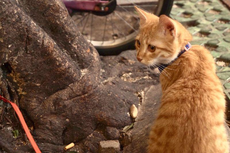Cat Pets Domestic Animals No People Animal Themes
