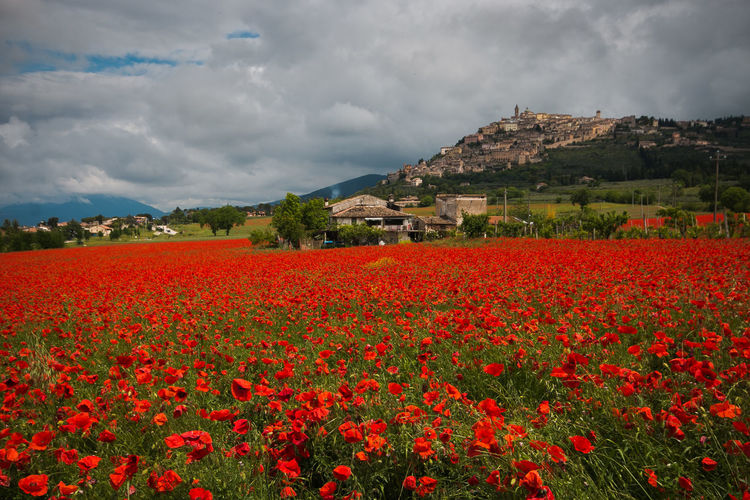 Spring field of red poppies in the umbria region, Italy Poppies  Poppies Field Poppies In Bloom Poppi Flower Flower Head Flowers Flower Collection Flowering Plant Blooming Bloom Trevi Umbria Village Medieval Architecture Spring Landscape Nature Red Countryside Country Farm Farmland Olive Tree Travel Destinations Travel Italy Europe Wanderlust Flowerbed Outdoors Day No People Environment Fragility Land Growth Beauty In Nature Plant Cloud - Sky Sky Freshness Field Vulnerability  Scenics - Nature