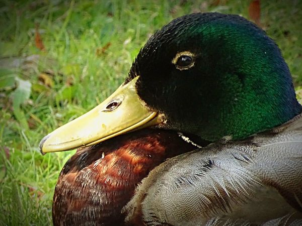 Duck Animals In The Wild Beak No People Green Color Close-up Nature