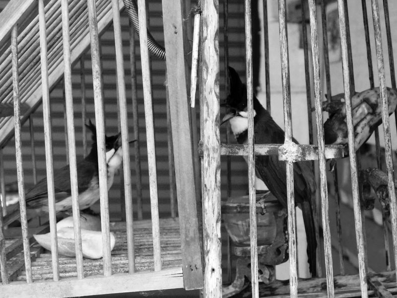 The Lover Birds in another cage before breeding. Breeding Thailand Animal Themes Bird Bird Singing Black And White Breeding Birds Caged Day Domestic Animals Feather  Handcraft Handmade Indoors  Pets Technique Twig Wings
