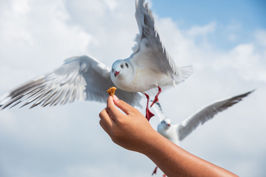 seagulls in action is flying on the sky with cloud,It is hovering food in hands Bird Vertebrate Spread Wings Animal Wildlife Animals In The Wild Flying One Person Hand Human Hand Human Body Part One Animal Real People Food Eating Feeding  Holding Focus On Foreground Seagull Body Part Outdoors Finger Human Limb