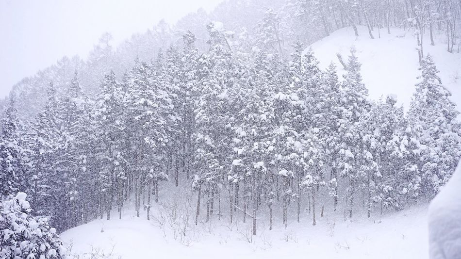 Snow Winter Cold Temperature Tree Nature Snowing Outdoors No People Beauty In Nature Tranquil Scene Day Scenics Freshness Extreme Weather Avalanche  Bare Tree Environment Geology Christmas Tree Jigokudani-Snow-Monkey-Park 地獄谷野猿公苑 Snow Storm Travel Destinations White Color Forest EyeEmNewHere EyeEmNewHere Miles Away