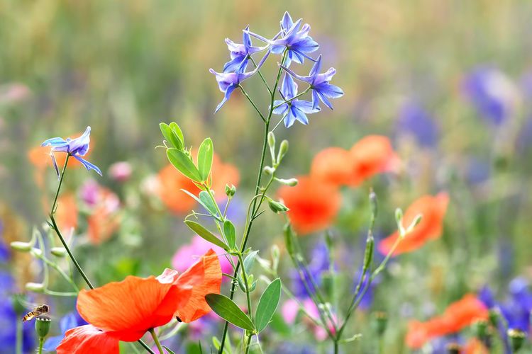 Feldrittersporn und Mohn im Feldarin Ackerrittersporn Blossom Blumen Bunt Close-up Consolida Regalis Delphinium Feld Feldrain Feldrittersporn Field Flower Flower Head Fragility Growing In Bloom Mohnblume Nature Plant Rain Ritterblume Rittersporn Wildblumen