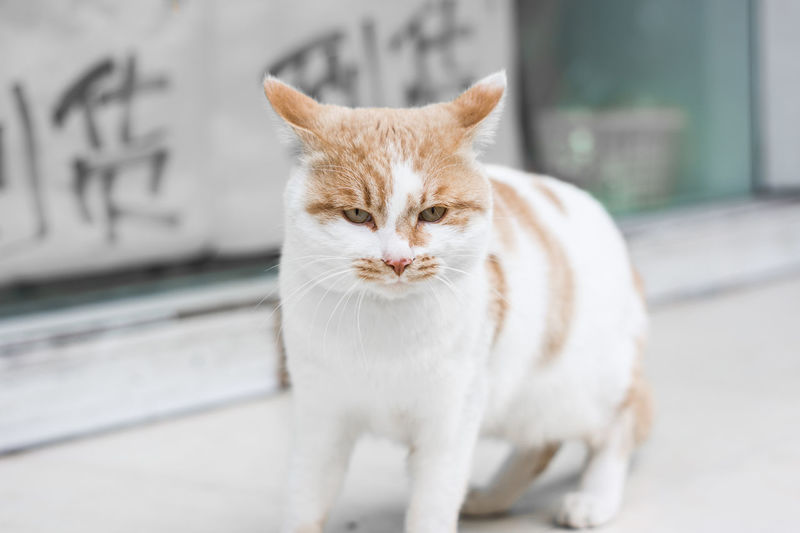 Cat mad-face Looking At Camera One Animal Portrait Animal Themes Pets Domestic Animals Mammal Day Close-up No People Outdoors Cat