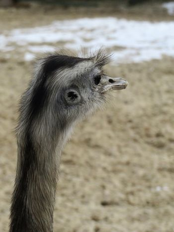 Beak FUNNY ANIMALS Looking Away Zoo Animal Animal Head  Animal Photography Animal Themes Animals In The Wild Bird Close-up Day Domestic Animals Ear Field Focus On Foreground Livestock Nandu Nature No People One Animal Ostrich Outdoors Portrait Zoology
